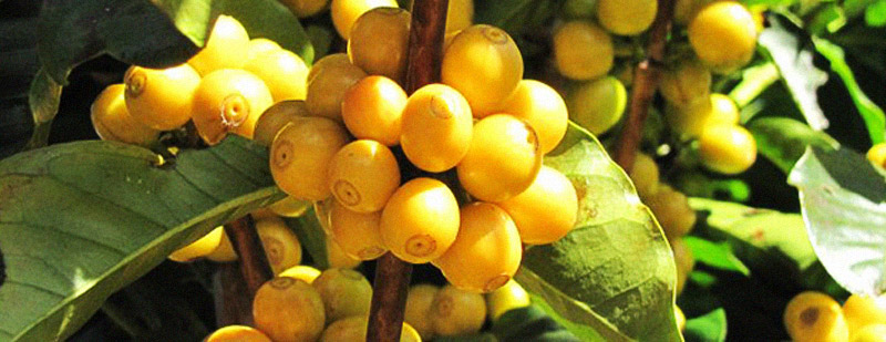 Soul-of-Coffee-Moonshine-Yellow-Catuai